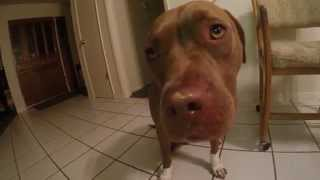 18 Month Old Purebred Red Nose Pitbull Eating Peanut Butter Go Pro Hero 3 Recording