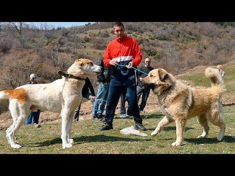 видео: fight & shepherd dogs in macedonia i. - Боевой да Овчарка собака Македония