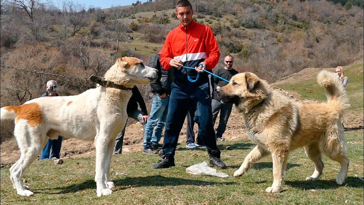 Fight & shepherd dogs in Macedonia I. - Боевой да Овчарка собака Македония