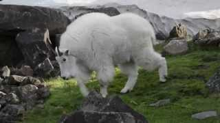 Mountain goats at the Oregon Zoo