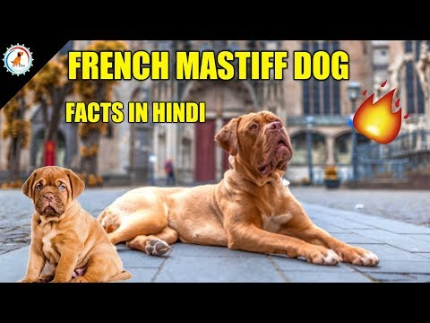 French Mastiff Dog Facts / In Hindi / Popular Dog / French Mastiff Facts