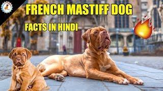 French Mastiff Dog Facts / In Hindi / Popular Dog / French Mastiff Facts