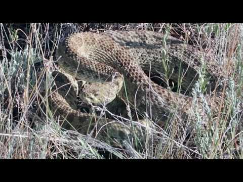 Wyoming Prairie Rattler