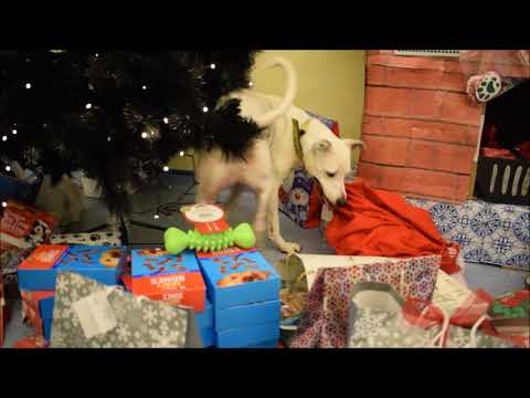 Casper at Dogs Trust Glasgow Christmas Present Reveal