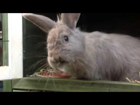 Fluffie, voskonijn, een konijn met half lang haar.