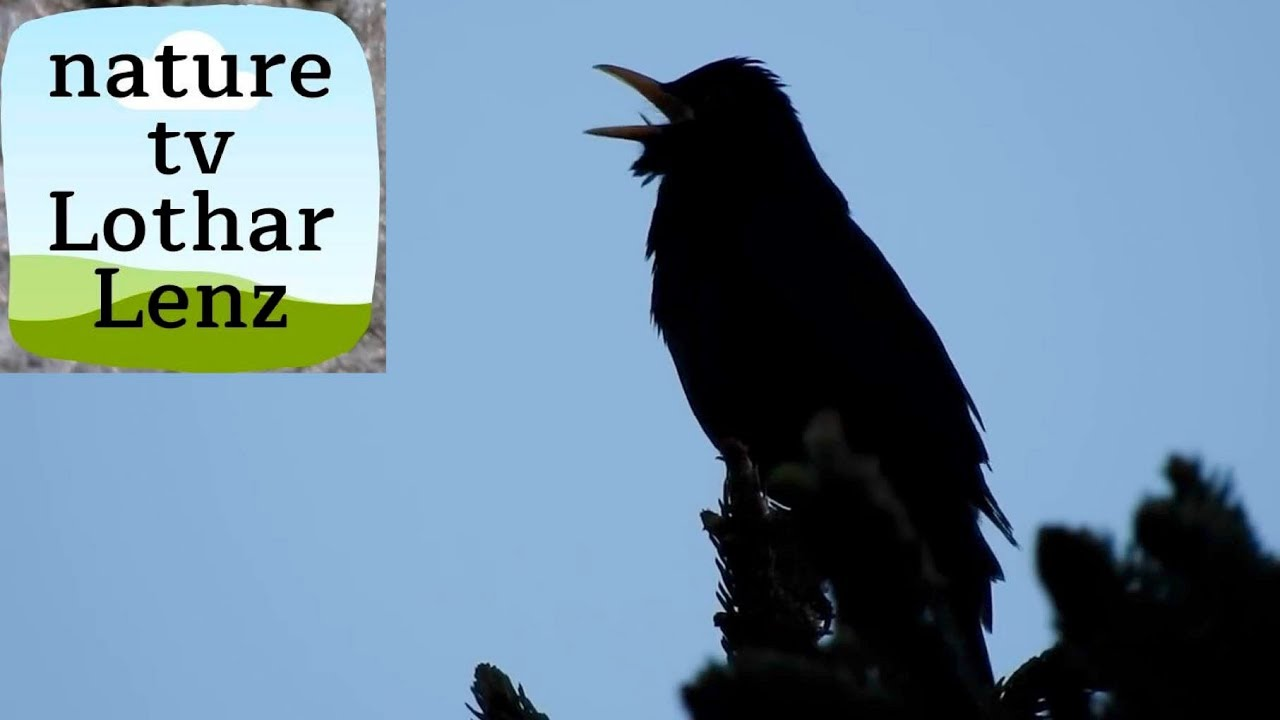 Gesang Der Amsel Blackbird Singing In The Last Evening Light Youtube