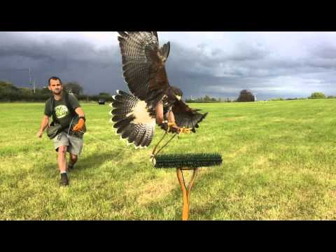 Harris Hawk Training