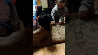 Щенок лабрадор 6 месяцев и ребенок.