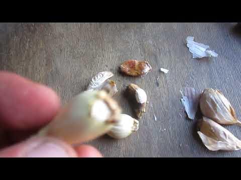 Вопрос: Какой сорт чеснока хранится долго Какой хуже?