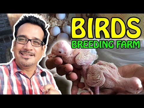 Birds Breeding Farm | Exotic Birds for Sale | Tips and Tricks | Video in Urdu/Hindi