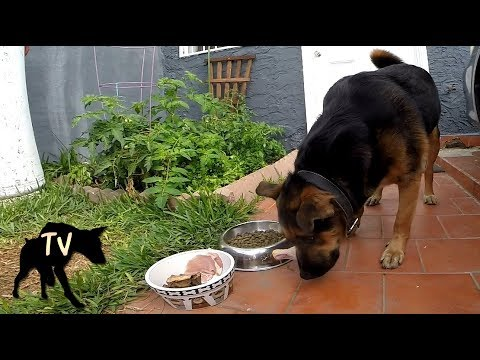 Edu the Pitbull German Shepherd Mix Eating Prey Model Raw | Dog food Mukbang