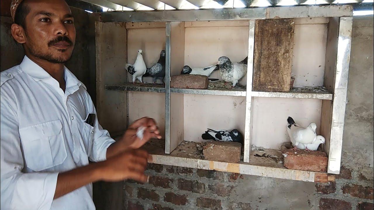 Pigeon in Khandwa || rampuri kabootar || sayeed shab & saddam bhai ke rampuri kabootar || LAST PART