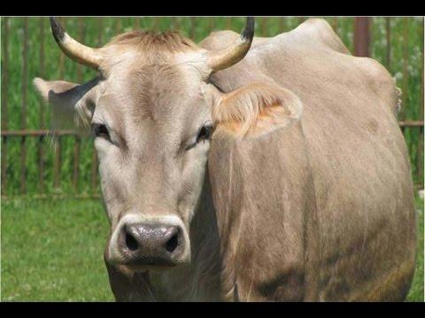 Top 10 Dairy Cow Breeds