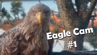 Eagle Cam #1 - Baron Blue - White Tailed Eagles Nest Live