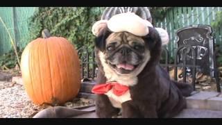 Cute Pug Costumes