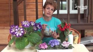 Красивые комнатные цветы фиалки глоксиния колерия(Красивые комнатные цветы. Фиалки, глоксиния, колерия радуют нас обильным цветением и цветут почти все лето!..., 2016-06-17T15:30:41.000Z)
