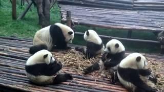 Позитивные панды (доброе видео) путешествие по Китаю
