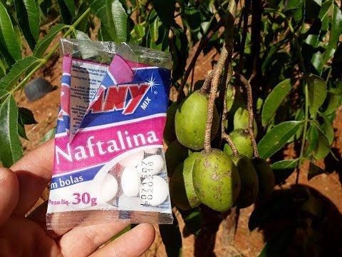 inacreditável coloque NAFTALINA em suas plantas e tenham excelentes resultados.