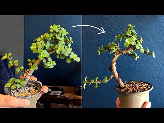 Wiring a Portulacaria Afra for bonsai - Little Jade Bonsai