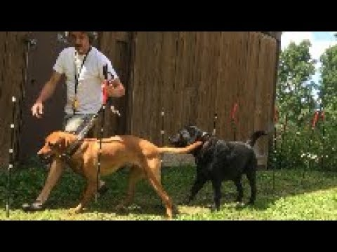 Easy train dog Weave poles using Peter Caine method of K9 Agility