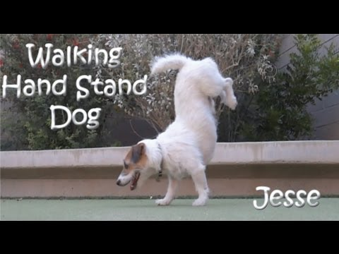 'Walking Hand Stand Dog' Jesse the Jack Russell Terrier