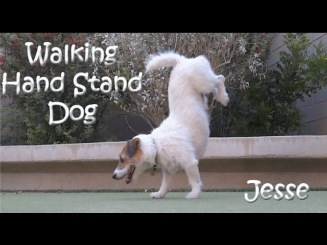 """Walking Hand Stand Dog"" Jesse the Jack Russell Terrier"