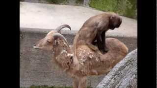 Funny monkey riding a goat!