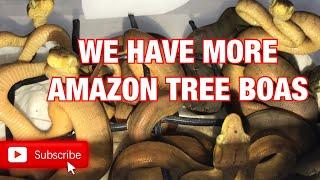 INCUBATORS AND AMAZON TREE BOAS!!