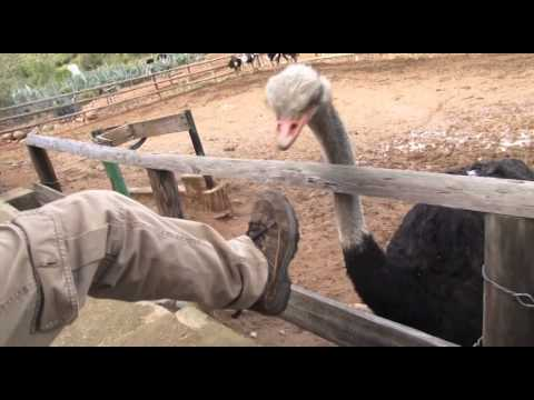 Ostrich Egg // Ostrich Farm with Kids South Africa