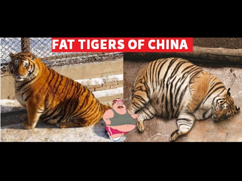 Fat Tigers Of China Youtube