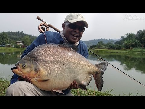 Monster Pacu Fly Fishing In Malaysia