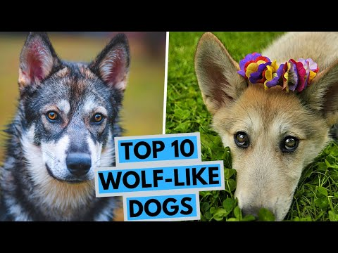 TOP 10 Dogs That Look Like Wolves