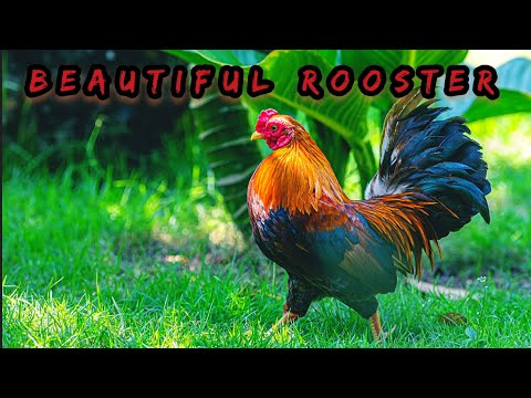 #Rooster #Bird Most Beautiful Rooster | Golden Rooster | Rooster Crowing