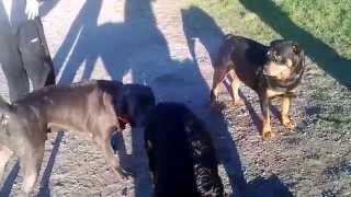 Hank And Brutus Rottweiler Twins Viyoutubecom
