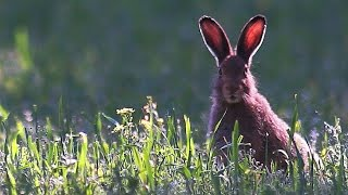 Зайцы: беляк и русак. Июнь. European hare, Mountain hare in June.