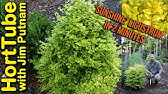 How To Grow Miss Lemon Abelia Variegated Evergreen Shrub With Pink