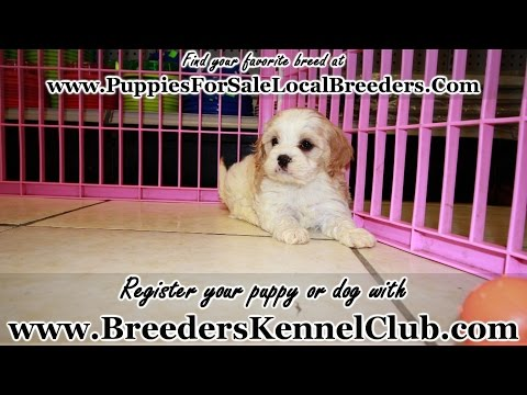 CavaChon, Puppies For Sale, In Knoxville, County, Tennessee, TN, 19Breeders, Murfreesboro, Jackson