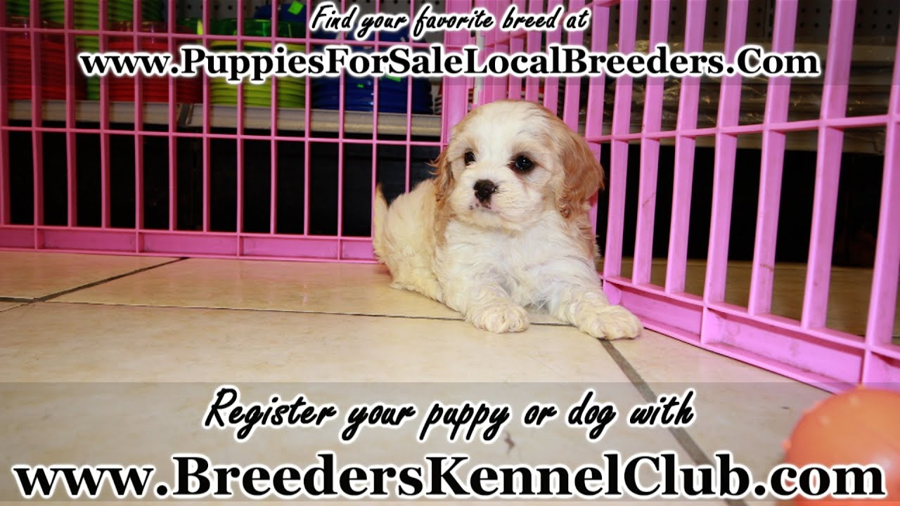 CavaChon, Puppies For Sale, In Knoxville, County ...
