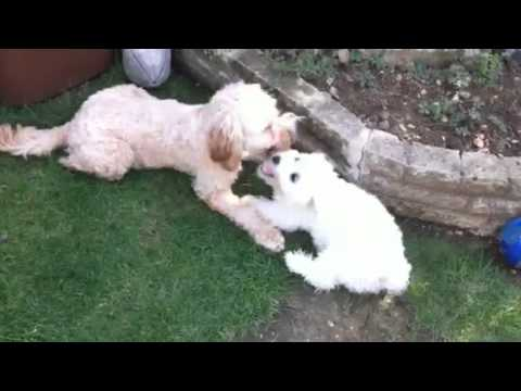 Poppy bichon and max cockerpoo playing