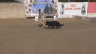 Длинношёрстная немецкая овчарка, окрас черный, видео с выставки собак