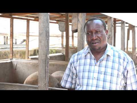 PROFITABLE PIG FARMING SECRET IN KENYA UN EDITTED