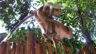Тайланд, Секс обезьян на Райли бич. Thailand, Sex monkeys Railay Beach