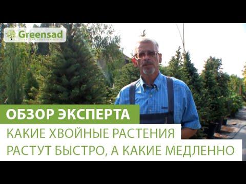 Как ускорить рост хвойных деревьев