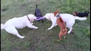 #Басенджи и злые псы рвут фиолетового #удава на куски!#Basenji and evil dogs tearing #purple #boa