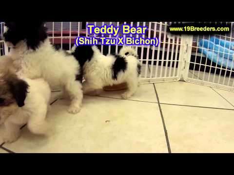 Teddy Bear Puppies For Sale In Kearney Nebraska Ne