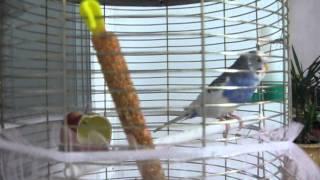Как научить попугая разговаривать....