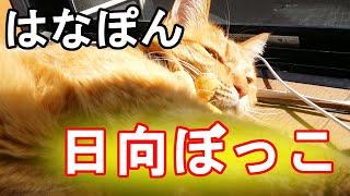 14.【笑い有】日向ぼっこを満喫する茶トラ♀はなぽん thumbnail