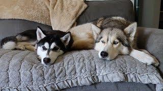 husky-puppy-snuggles-big-sister