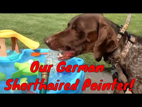 Our German Shorthaired Pointer!