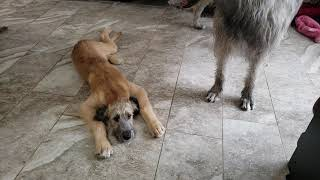 Lola the  Irish Wolfhound puppy getting in trouble for chewing shoes . 15 weeks old